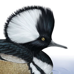 Hooded Merganser Head Illustration