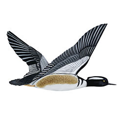 Hooded Merganser Flight Illustration