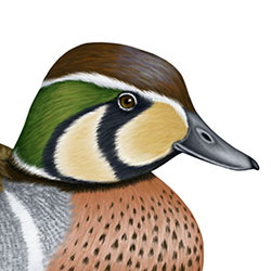 Baikal Teal Head Illustration
