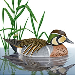 Baikal Teal Body Illustration