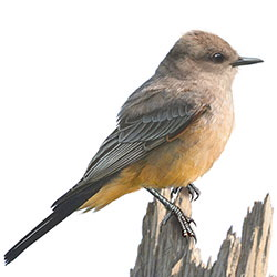 Say's Phoebe Body Illustration.jpg