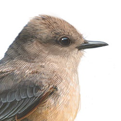 Say's Phoebe Head Illustration.jpg
