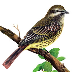 Sulphur-bellied Flycatcher Body Illustration
