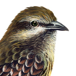Sulphur-bellied Flycatcher Head Illustration