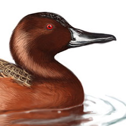Cinnamon Teal Head Illustration