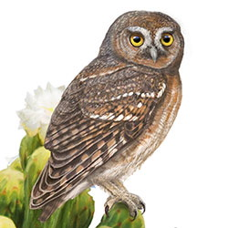 Elf Owl Body Illustration.jpg
