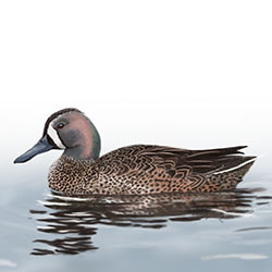 Blue-winged Teal Body Illustration