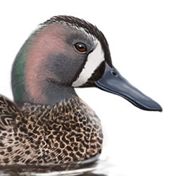 Blue-winged Teal Head Illustration