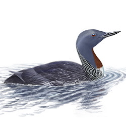 Red-throated Loon Body Illustration