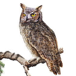 Great Horned Owl Body Illustration