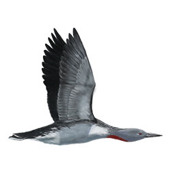 Red-throated Loon Flight Illustration