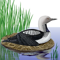 Pacific Loon Body Illustration