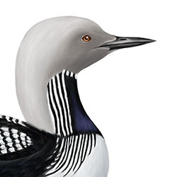 Pacific Loon Head Illustration