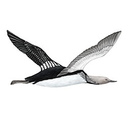 Pacific Loon Flight Illustration