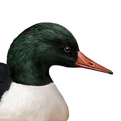 Common Merganser Head Illustration