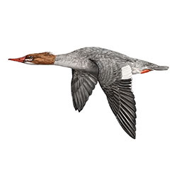 Common Merganser Flight Illustration