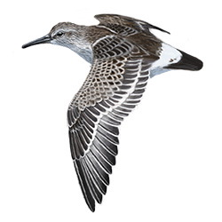 White-rumped Sandpiper Flight Illustration