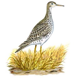 Upland Sandpiper Body Illustration