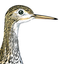 Upland Sandpiper Head Illustration