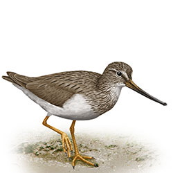 Terek Sandpiper Body Illustration