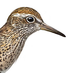 Sharp-tailed Sandpiper Head Illustration
