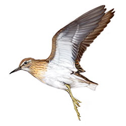 Sharp-tailed Sandpiper Flight Illustration