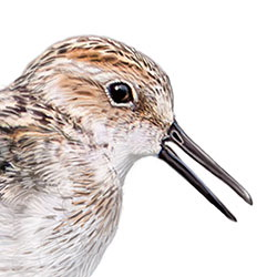 Semipalmated Sandpiper Head Illustration