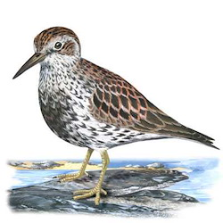 Rock Sandpiper Body Illustration