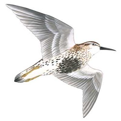 Rock Sandpiper Flight Illustration