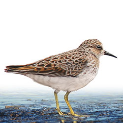 Least Sandpiper Body Illustration