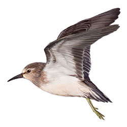 Least Sandpiper Flight Illustration