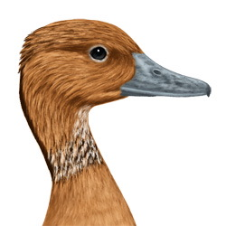 Fulvous Whistling-Duck Head Illustration