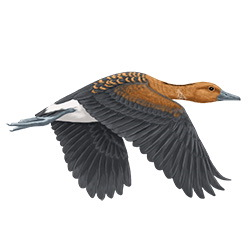 Fulvous Whistling-Duck Flight Illustration
