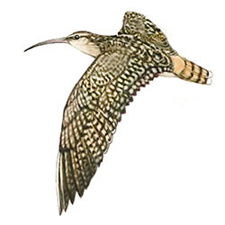 Bristle-thighed Curlew Flight Illustration