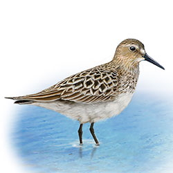 Baird's Sandpiper Body Illustration