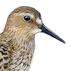 Baird's Sandpiper Head Illustration