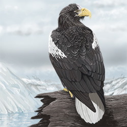 Steller's Sea-Eagle Body Illustration