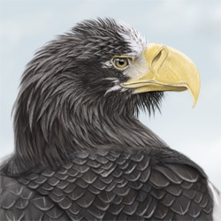 Steller's Sea-Eagle Head Illustration