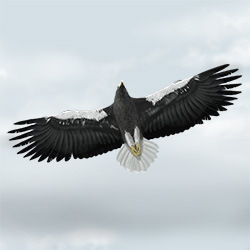 Steller's Sea Eagle Flight Illustration