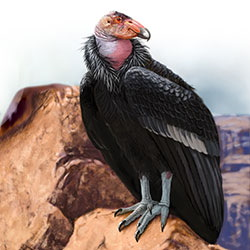California Condor Body Illustration