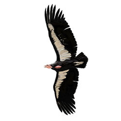 California Condor Flight Illustration