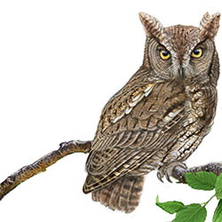Western Screech-Owl Body Illustration.jpg