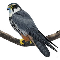 Eurasian Hobby Body Illustration