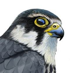 Eurasian Hobby Head Illustration