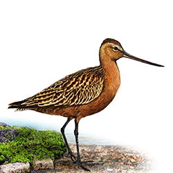 Bar-tailed Godwit Body Illustration