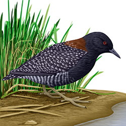 Black Rail Body Illustration