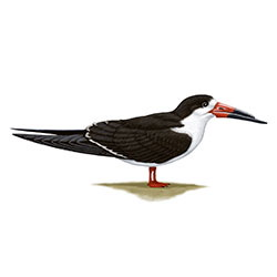 Black Skimmer Body Illustration