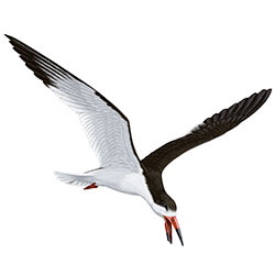 Black Skimmer Flight Illustration