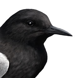 Black Tern Head Illustration.jpg