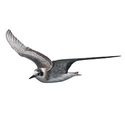Black Tern Flight Illustration.jpg